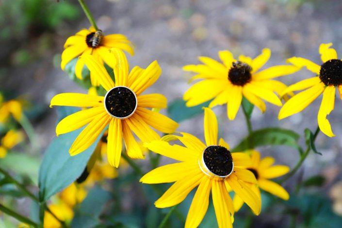 Obrączki ślubne na kwiatach jeżówkach
